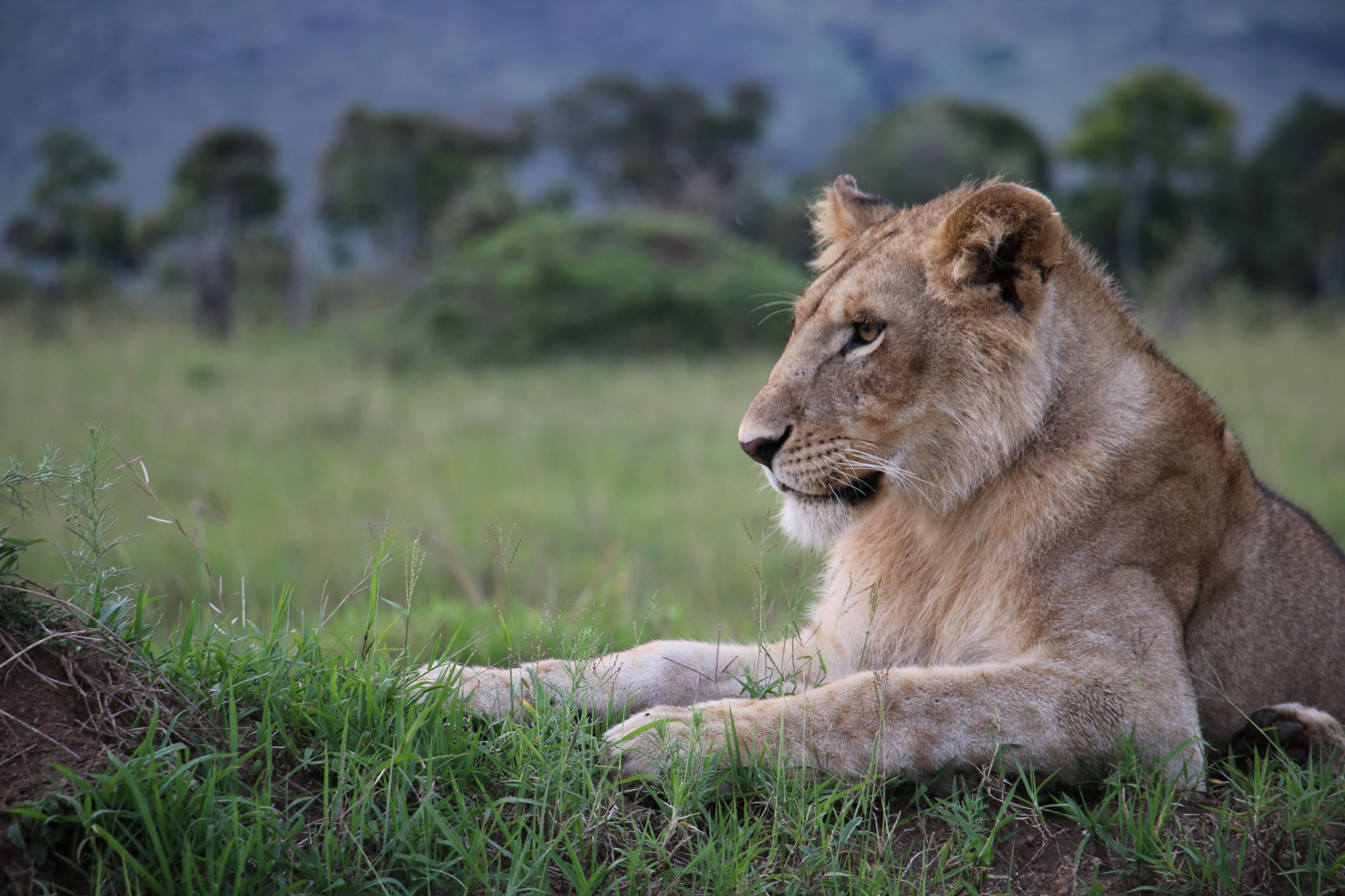 Lev tváří v tvář